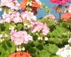 kako napraviti geranij cvatu