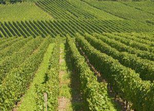 Виноградники Люксембурга