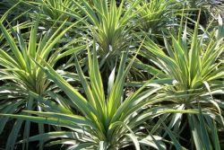 rostoucí yucca na zahradě