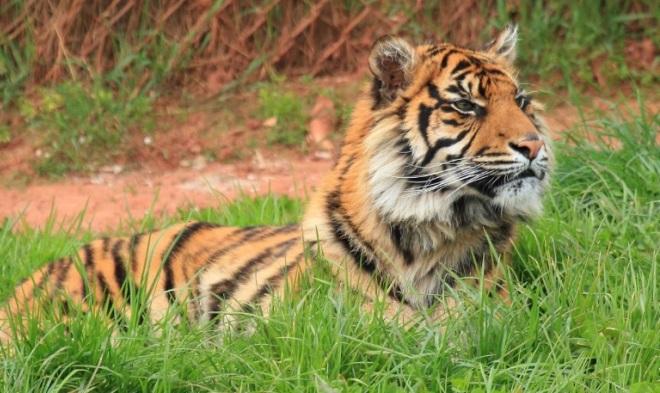 Тигр в Дубайском зоопарке